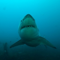 greatwhitesharkdiving35