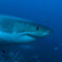 greatwhitesharkdiving25
